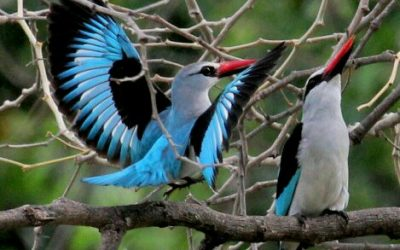 Boubou Bed and Breakfast – The Story of the Woodland Kingfisher