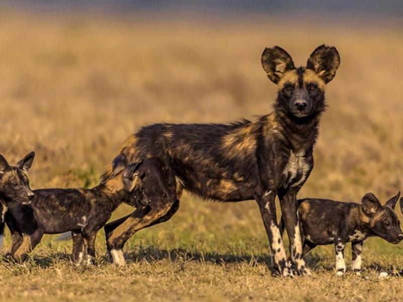 wild_dogs03_post_img-v1